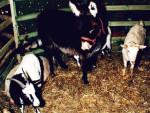 Osiołek i kozy